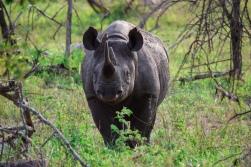 rhino-black3