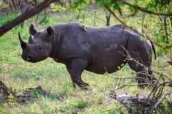 rhino-black4